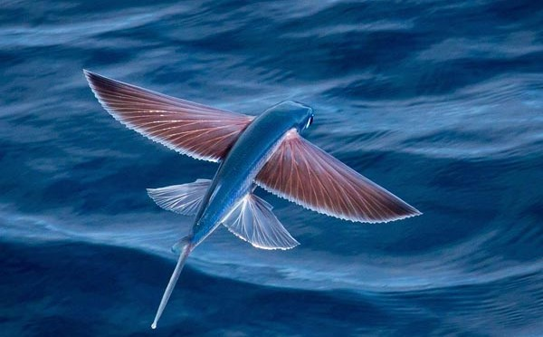 Did You Know That There Are Fish That Can Fly? Meet The Exocoetidae!