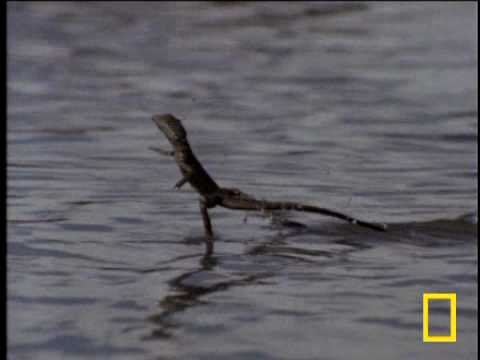 The Jesus Lizard (Can Walk On Water)